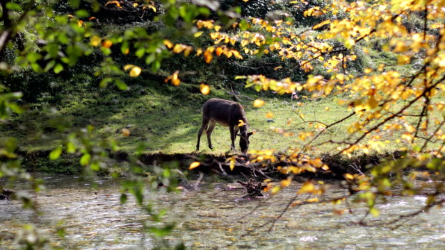 vídeos y material grabado en eventos de stock de burro bebiendo agua de un arroyo del bosque - burro