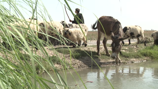 A donkey drinks from a stream as a shepherd herds sheep on a dirt road.
