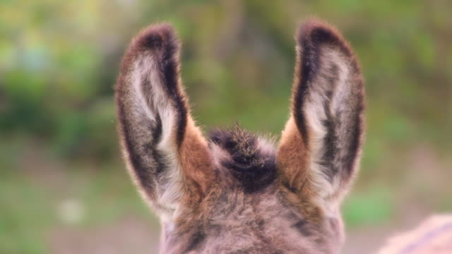 donkey ears - donkey stock videos & royalty-free footage