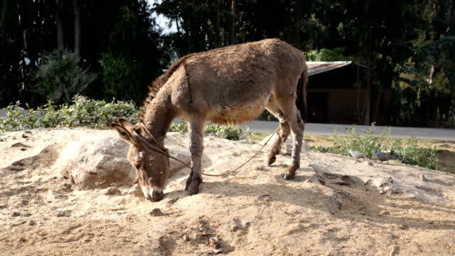 donkey feeding in african looking village - donkey stock videos & royalty-free footage