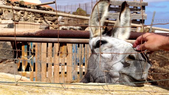 vídeos y material grabado en eventos de stock de burro de fuerteventura - islas canarias - cariñoso