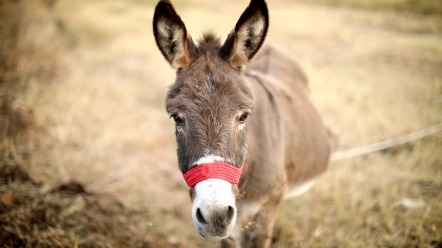 donkey gazes the grass - donkey stock videos & royalty-free footage