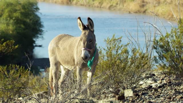 donkey grazing on bush - 馬勒点の映像素材/bロール