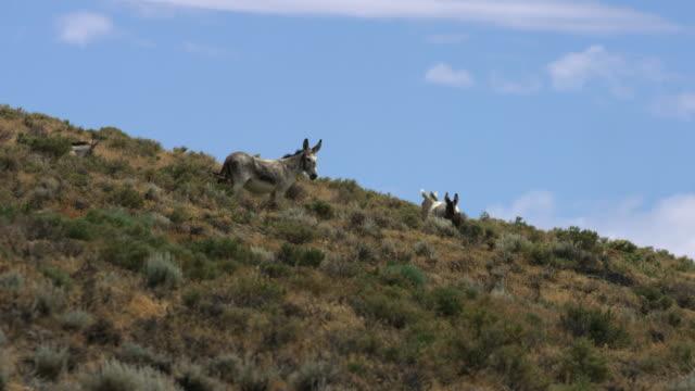 donkey group on hillside - アジア野ロバ点の映像素材/bロール