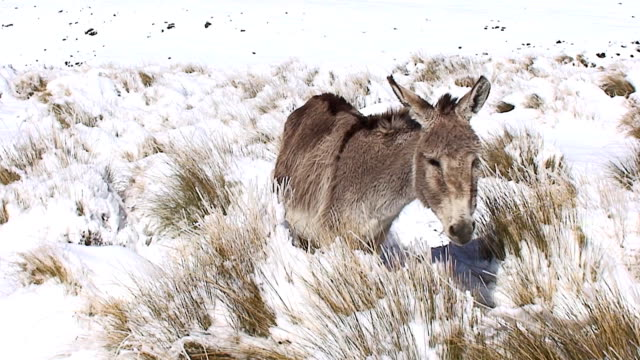 donkey in snow - mule stock videos & royalty-free footage