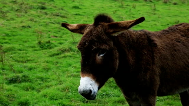 A donkey in the fields, Normandy, France
