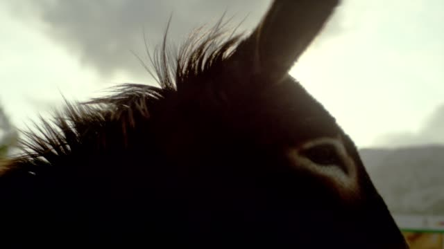 donkey pasturing on a mountain meadow - donkey stock videos & royalty-free footage