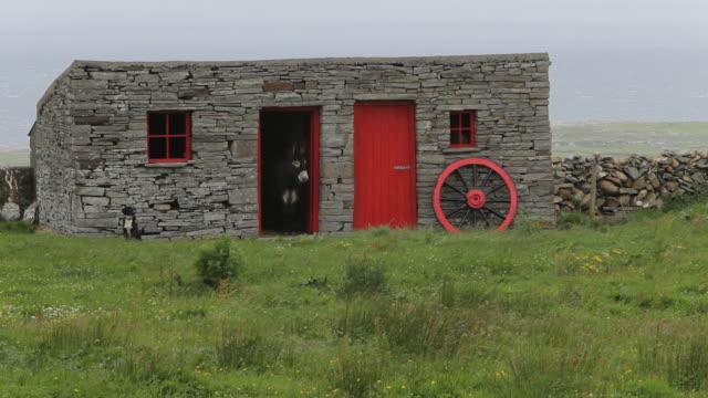 ws donkey peeking out from barn / cliffs of moher, ireland - arbeitstier stock-videos und b-roll-filmmaterial