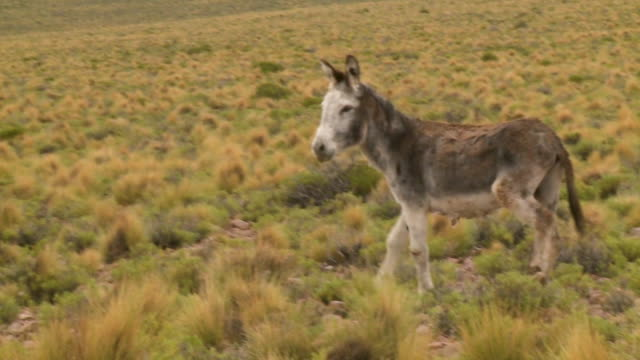 a donkey standing in a field - donkey stock videos & royalty-free footage