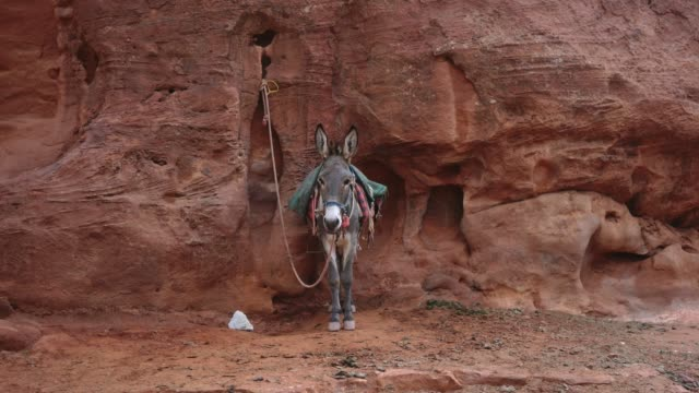 Donkey standing near the wall of Siq canyon in Perta