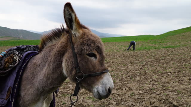 donkey with man in farmland - donkey stock videos & royalty-free footage