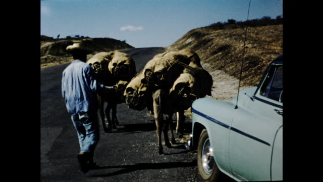donkeys carrying large sacks on their backs walking on the field by the street followed by a farmer; blue car parked next to the street - 運ぶ点の映像素材/bロール