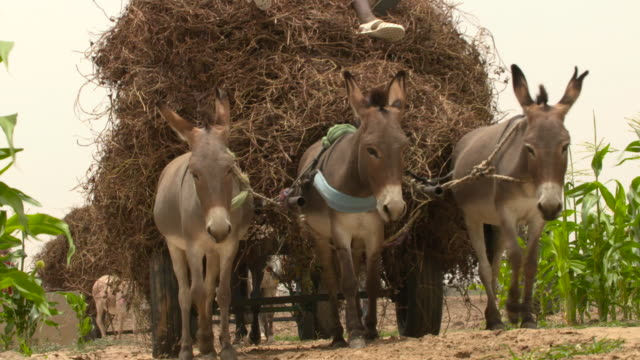 donkeys pull carts towards market, senegal - 数匹の動物点の映像素材/bロール
