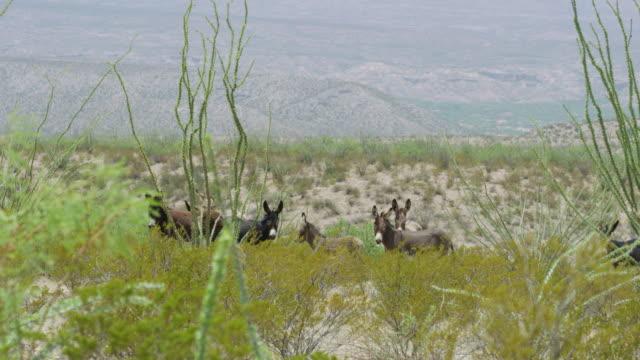 donkeys standing among bushes - アジア野ロバ点の映像素材/bロール