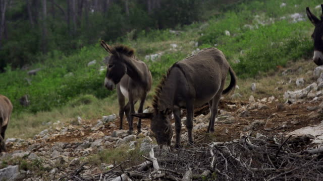 やミニロバ - アジア野ロバ点の映像素材/bロール