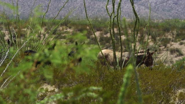 donkeys walking among bushes - アジア野ロバ点の映像素材/bロール