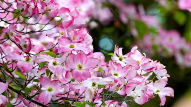 vídeos de stock e filmes b-roll de doogwood flor blossom - cornus