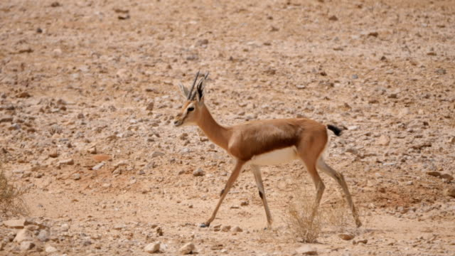 dorcas gazelle (gazella dorcas) walking in the desert - heat haze stock videos & royalty-free footage