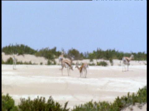 dorcas gazelles in shimmering desert heat haze - 熱波点の映像素材/bロール
