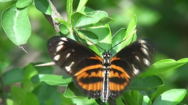 vídeos de stock e filmes b-roll de doris longwing borboleta - invertebrado