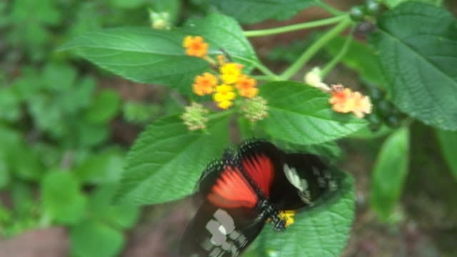 vídeos de stock e filmes b-roll de doris longwing sobre uma flor - invertebrado