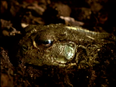 cu dormant african bull frog (pyxicephalus adspersus) in ground, africa - burrow stock videos & royalty-free footage
