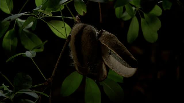 vídeos de stock e filmes b-roll de dormouse feeding on akebia fruit in tree, yatsugatake mountains, nagano - roedor