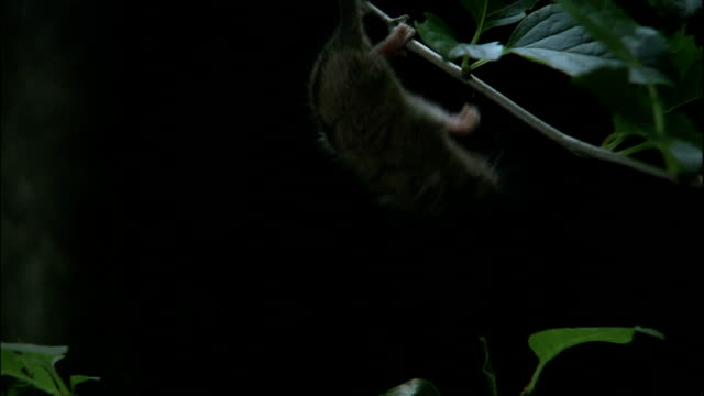 dormouse hands upside down from twig, then drops, yatsugatake mountains, nagano - twig stock videos & royalty-free footage