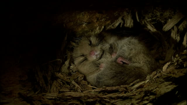 dormouse twitching as it sleeps, yatsugatake mountains, nagano - roditore video stock e b–roll