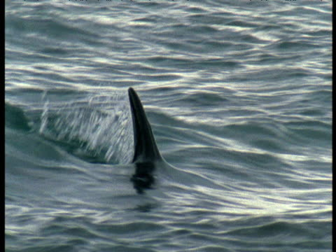 dorsal fin of orca cuts through water surface, punte norte, argentina - dorsal fin stock videos & royalty-free footage