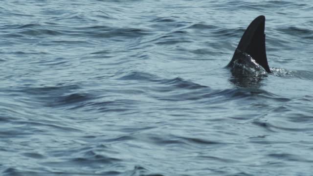 Dorsal fin of orca (killer whale) sinks below water, Alaska, 2011