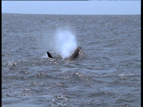 dorsal fin of orca surfaces, monterey, california - dorsal fin stock videos & royalty-free footage