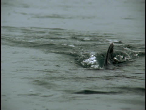 dorsal fin of salmon shark visible at water's surface. - dorsal fin stock videos and b-roll footage