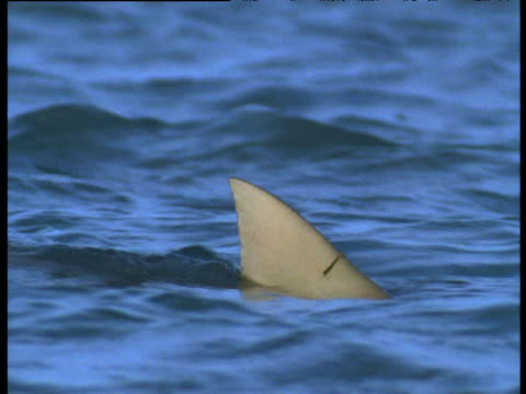 dorsal fin of shark cuts through waves, crab island, australia - rückenflosse stock-videos und b-roll-filmmaterial