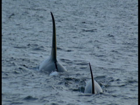 dorsal fins of killer whales in the atlantic ocean. - rückenflosse stock-videos und b-roll-filmmaterial