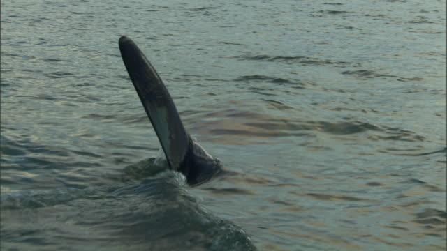 stockvideo's en b-roll-footage met ms ts dorsal fins of orcas swimming across ocean under cloudy blue sky / new zealand - cetacea