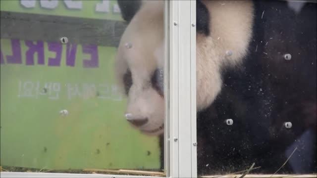 Dos osos pandas chinos llegaron este jueves al aeropuerto de Seul como regalo del presidente chino Xi Jinping a Corea del Sur