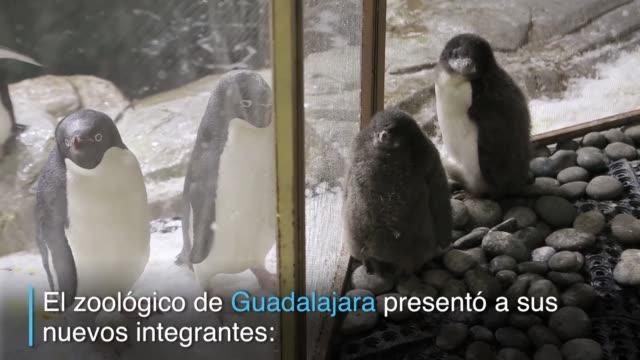 dos pingüinos de la especia adelie nacieron en el zoológico de la ciudad mexicana de guadalajara - especia stock videos & royalty-free footage