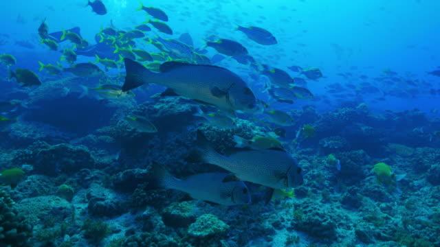 dotted sweetlips, plectorhinchus picus, at ogasawara islands - sweetlips stock videos & royalty-free footage