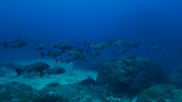 dotted sweetlips (plectorhinchus picus) undersea, japan - sweetlips stock videos & royalty-free footage