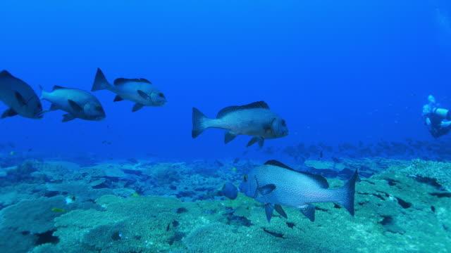 dotted sweetlips (plectorhinchus picus) undersea, ogasawara islands - sweetlips stock videos & royalty-free footage