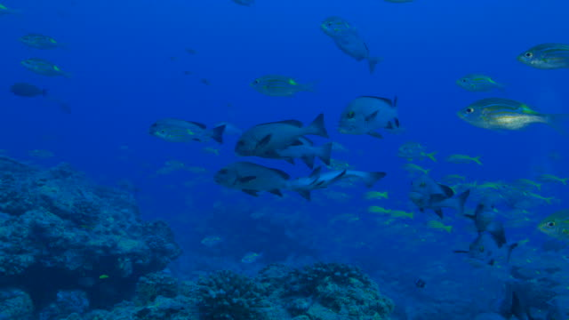 dotted sweetlips (plectorhinchus picus), yellowspot emperor (sea bream) undersea - sweetlips stock videos & royalty-free footage