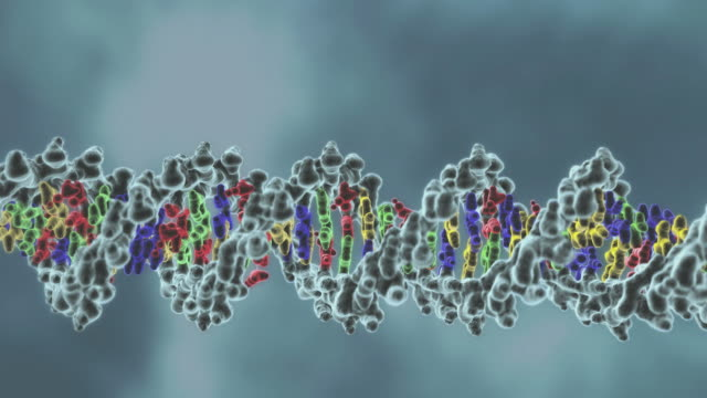 DNA double helix, unwinding then unzipping into its two complementary strands.