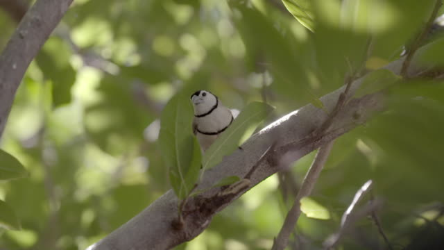 double-barred finch perching on branch - perching stock videos & royalty-free footage