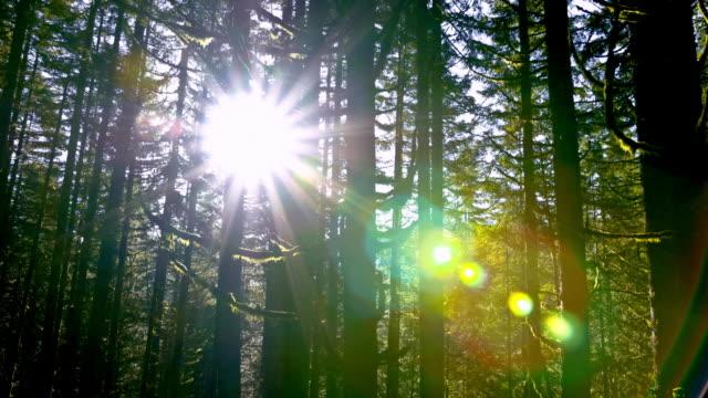 douglas fir forest - douglas fir stock videos and b-roll footage