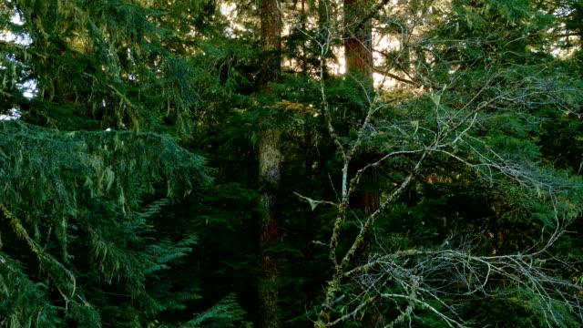 douglas fir trees mckenzie river valley oregon 10 - douglas fir stock videos and b-roll footage