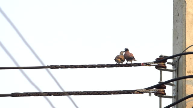 ロマンチックな愛の鳥の概念で送電線上に鳩のカップル - ユーラシアエスニシティ点の映像素材/bロール