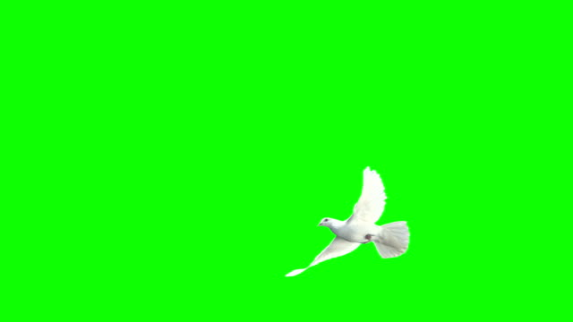 dove crossing frame over chroma key (super slow motion) - green background stock videos & royalty-free footage