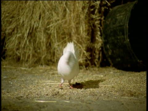 dove displays on floor of barn, devon - 小さめのハト点の映像素材/bロール