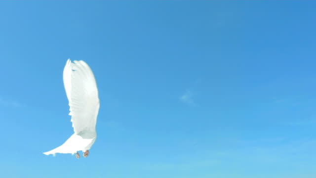 stockvideo's en b-roll-footage met dove flying on blue sky (super slow motion) - tekstveld
